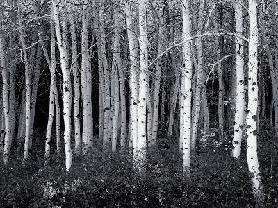 black and white aspen forest wall ink_bluesky